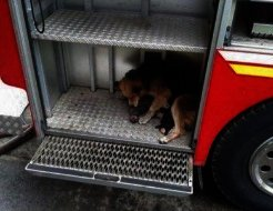 Casi sin fuerzas, esta perra sale de la casa en llamas. Lo que llevaba en la boca dejó a todos boquiabiertos