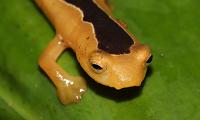 Captan por primera vez en nuestro siglo a esta rara especie en la selva de Guatemala