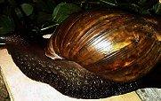 Hallan en Cuba uno de los caracoles más peligrosos del Mundo