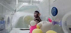 China clona por primera vez macacos con el método de la oveja Dolly