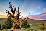 Los 10 árboles vivos más antiguos del mundo